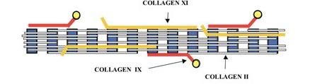 cartilage collagen
