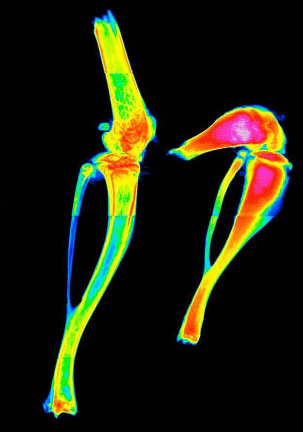 TRIB1 mouse bones